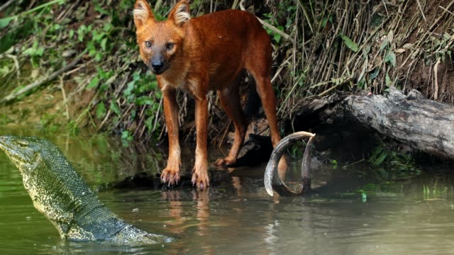 shot amazing of asian wild dog eating deer in the lake - killing stock videos & royalty-free footage
