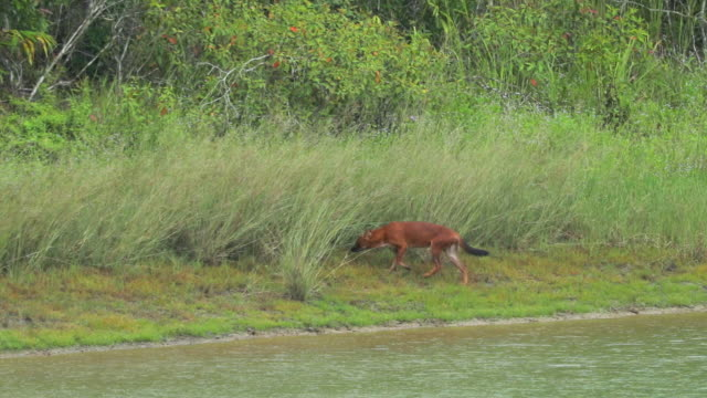 Shot amazing of Asian wild dog near the lake in Khao Yai national park, slow motion