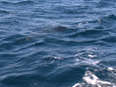 vidéos et rushes de shot close to the surface of the ocean, a lone dolphin breaks the waves, bobs back under again, then reappears. shot off the coast of durban, south africa. - organisme aquatique