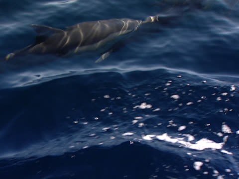 shot close to the surface of the ocean, two dolphins play with each, swimming at speed. one breaks through the water. shot off the coast of durban, south africa. - durban stock videos and b-roll footage