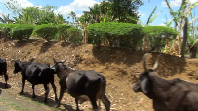 vidéos et rushes de shot driving between cows on the street - bovin