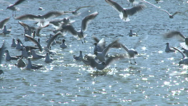 ms shot fo large flock of black headed gulls landing and taking off above sun sparkling off the surface of water  / ma'ayan zvi, carmel, coast israel - sea water bird stock videos & royalty-free footage
