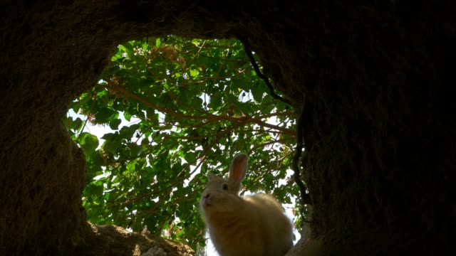 shot from inside burrow as feral domestic rabbit enters - rabbit animal stock videos & royalty-free footage