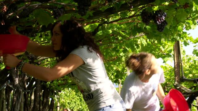 vídeos de stock, filmes e b-roll de shot in a pergola vineyard with vernatsch grapes in tramin an der weinstrasse in south tyrol - vino