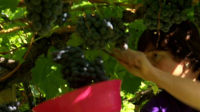 shot in a pergola vineyard with vernatsch grapes in tramin an der weinstrasse in south tyrol - rankenpflanze stock-videos und b-roll-filmmaterial