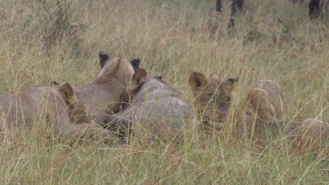 ms zi ts pan shot  lions eating / tanzania - kleine gruppe von tieren stock-videos und b-roll-filmmaterial