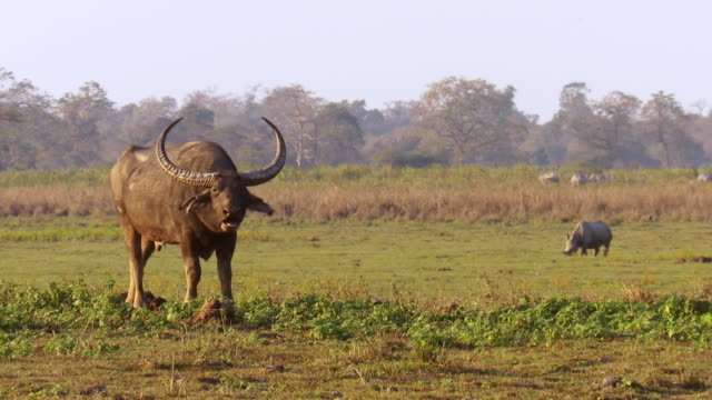 """""""ws shot male water buffalo standing chewing on grassland with rhino in distance / assam, golaghat, india"""" - water buffalo stock videos & royalty-free footage"""