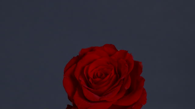 shot moving over a single red rose in front of a navy background. - petalo video stock e b–roll