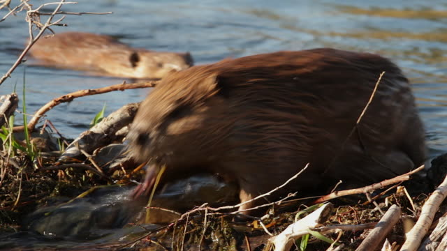 ms/ts  shot of 2 american beaver (castor canadensis) crossing over their dam - beaver stock videos & royalty-free footage
