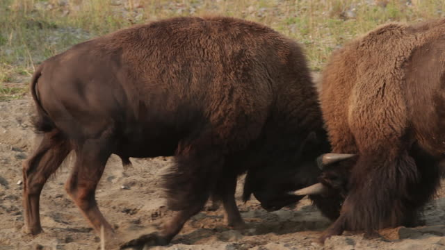 vídeos de stock e filmes b-roll de ms  shot of 2 american bison (bison bison) bulls fighting during the august rut - bisonte americano