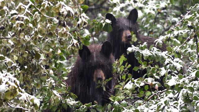 TS 4K shot of 2 black bear cubs (Ursus americanus) eating berries in the snow