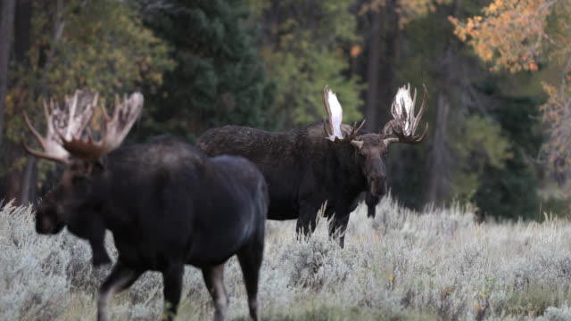 MS 4K shot of 2 bull moose (Alces alces) during the rut