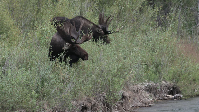vidéos et rushes de ws 4k shot of 2 bull moose (alces alces) grazing along the river at dusk - partie du corps d'un animal