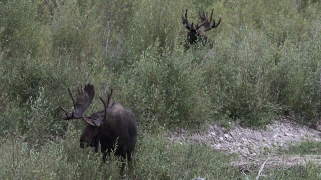 ws 4k shot of 2 bull moose (alces alces) grazing along the river at dusk - parte del corpo animale video stock e b–roll