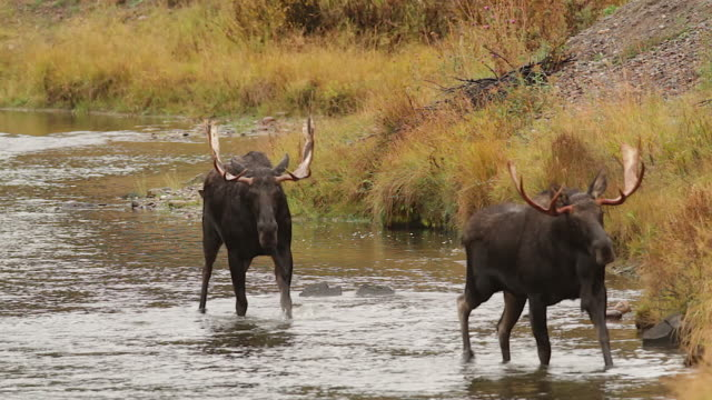 MS shot of 2 bull moose (Alces alces) in the rut, walking in the Snake River