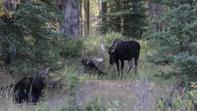 MS 4K shot of 2 bull moose (Alces alces) sparring/fighting