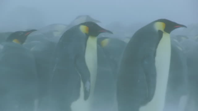 cu pan shot of 2 emperor penguins pan left as they walk past huddle in background in blizzard / dumon d urville station, adleie land, antarctica - cold temperature stock videos & royalty-free footage