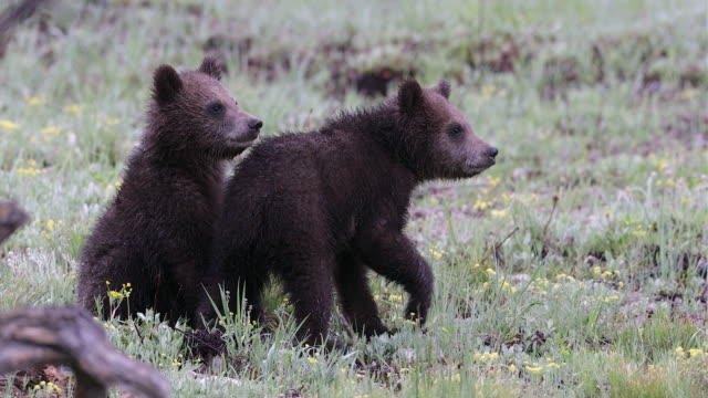 TS 4K shot of 2 grizzly bear cubs (Ursus arctos) playing and eating in a meadow
