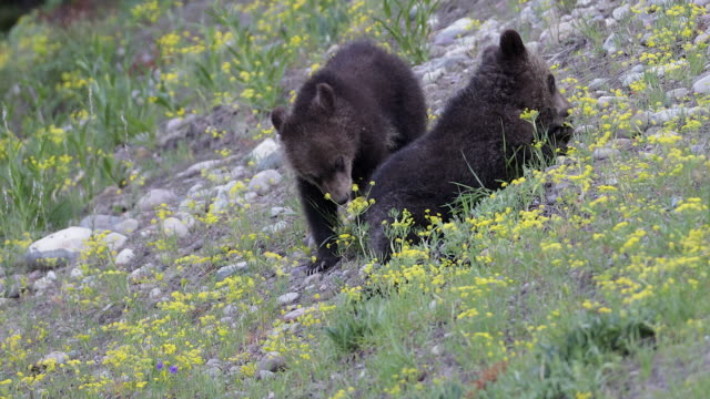 TS 4K shot of 2 grizzly bear cubs (Ursus arctos) playing and eating on a flowery hillside