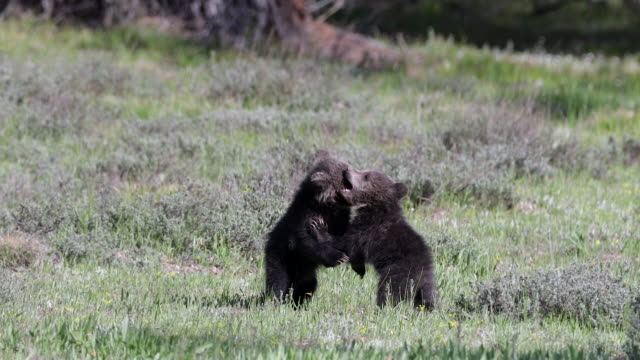 MS 4K shot of 2 grizzly bear cubs (Ursus arctos) playing in a meadow