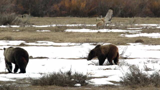 vidéos et rushes de ws shot of 2 grizzly bears (ursus arctos) walking through the snow with dancing sandhill cranes in the background - dancing bear
