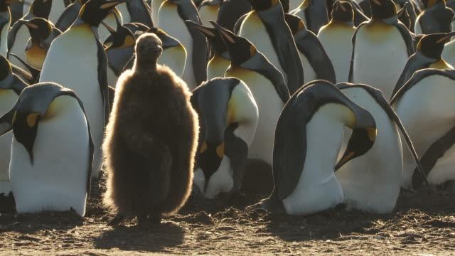 ms shot of 2 king penguins aptenodytes patagonicus chick preening / volunteer point, falkland islands - 雛鳥点の映像素材/bロール