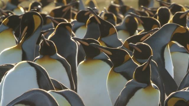 ms shot of 2 king penguins aptenodytes patagonicus group / volunteer point, falkland islands  - royal penguin stock videos & royalty-free footage