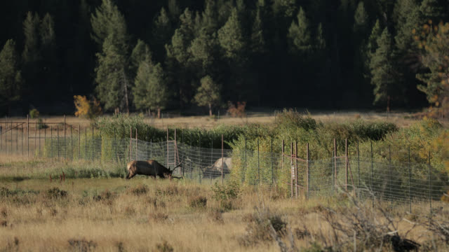 ws 4k shot of 2 large bull elk or wapiti (cervus canadensis) fighting through a fence - bull animal stock videos & royalty-free footage