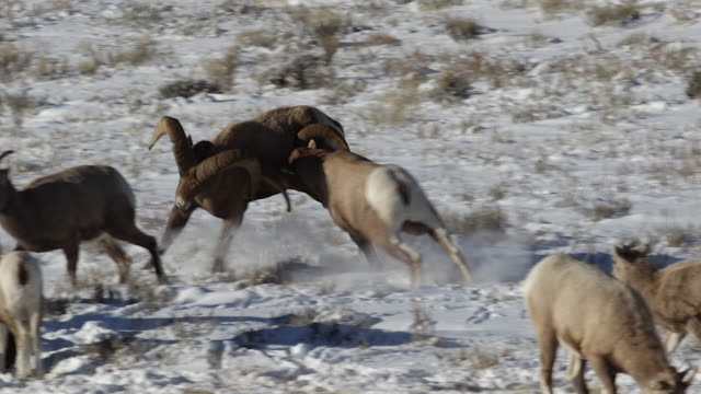 stockvideo's en b-roll-footage met ms/slomo  shot of 2 massive bighorn sheep rams (ovis canadensis) fighting and headbutting in the snow - dierlijk gedrag