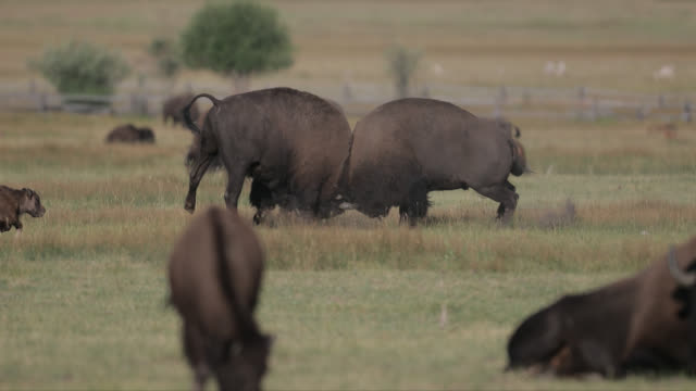 ms/ws  4k shot of 2 massive bull bison (bison bison) fighting during the summer rut - american bison stock videos & royalty-free footage