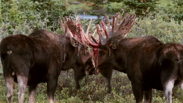 ms shot of 2 massive bull moose (alces alces) confront each other as the bloody velvet hangs from their antlers / ward, colorado, united states  - 抜け殻点の映像素材/bロール