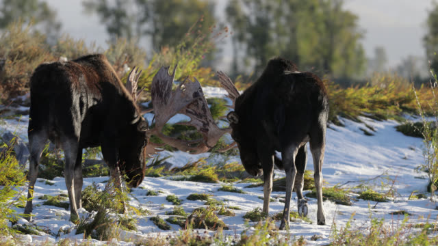 ms 4k shot of 2 massive bull moose  (alces alces) fighting in the fresh snow in front of the camera at sunrise - grand teton national park stock videos & royalty-free footage