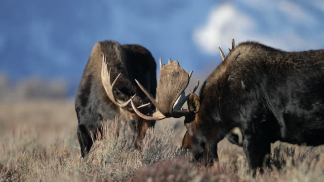 ts 4k shot of 2 massive bull moose (alces alces) fighting in the sagebrush with a snowy mountain background - 対立点の映像素材/bロール