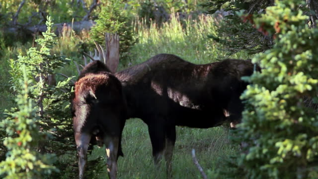 MS Shot of 2 massive bull moose (Alces alces) sparring in the forest after shedding their velvet / Ward, Colorado, United States
