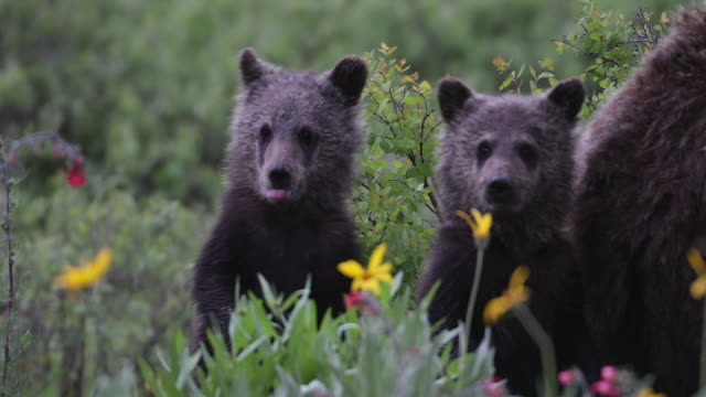 ts 4k shot of 2 tiny grizzly bear cubs (ursus arctos) standing in the wildflowers - raubtier stock-videos und b-roll-filmmaterial