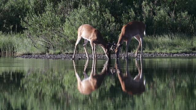 vídeos de stock e filmes b-roll de ms 4k shot of 2 white-tailed deer (odocoileus virginianus) bucks playing on a lake shore - veado