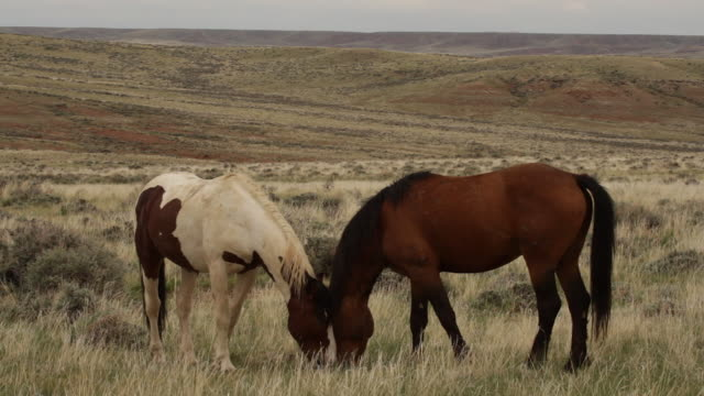 MS  shot of 2 wild mustang stallions (Equus ferus caballus) interacting while grazing on the grasslands with a scenic backdrop