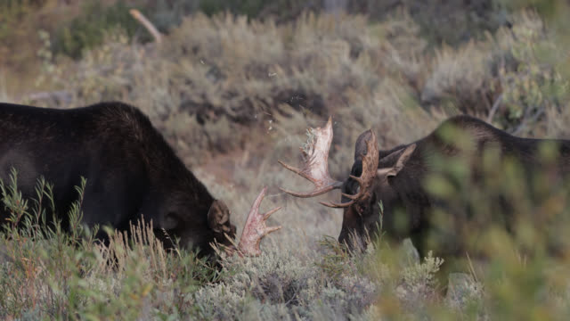 ts 4k shot of 2 young bull moose  (alces alces) fighting in the sage brush - grand teton national park stock videos & royalty-free footage