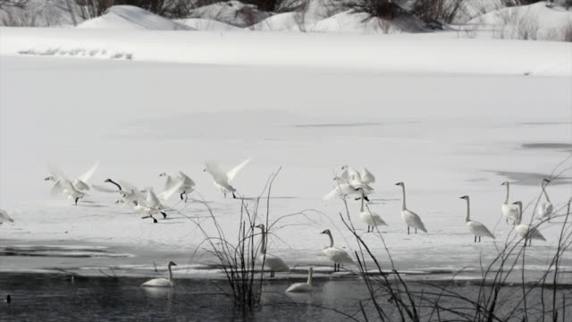 WS/SLOMO  shot of 21 trumpeter swans (Cygnus buccinator) 9 are taking flight through the fresh snow