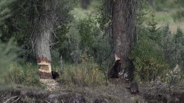 ws  4k shot of 3 beaver (castor canadensis) chewing on cottonwood trees along the snake river - biber stock-videos und b-roll-filmmaterial