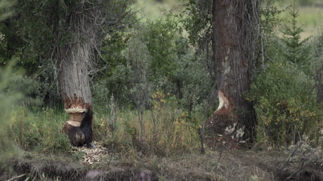 ws  4k shot of 3 beaver (castor canadensis) chewing on cottonwood trees along the snake river - beaver stock videos & royalty-free footage