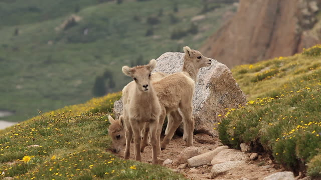 MS  shot of 3 bighorn sheep lambs (Ovis canadensis) standing on the flower covered tundra