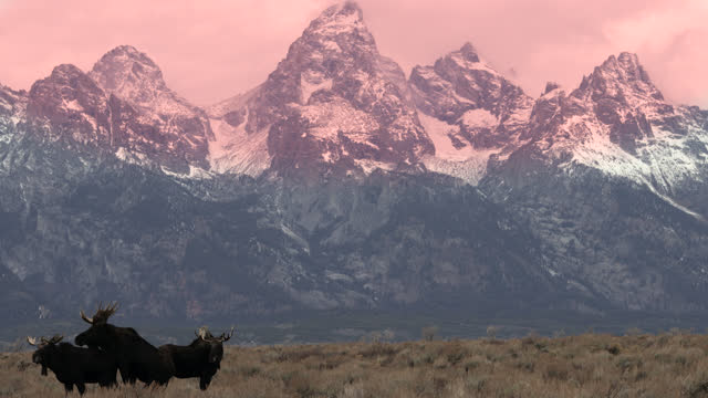 ws 4k shot of 3 bull moose  (alces alces) fighting and mounting each other at sunset with the tetons in the back ground as winter sets in - jackson hole stock-videos und b-roll-filmmaterial