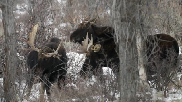 stockvideo's en b-roll-footage met ms 4k shot of 3 bull moose (alces alces) fighting in the snowy forest - dierlijk gedrag