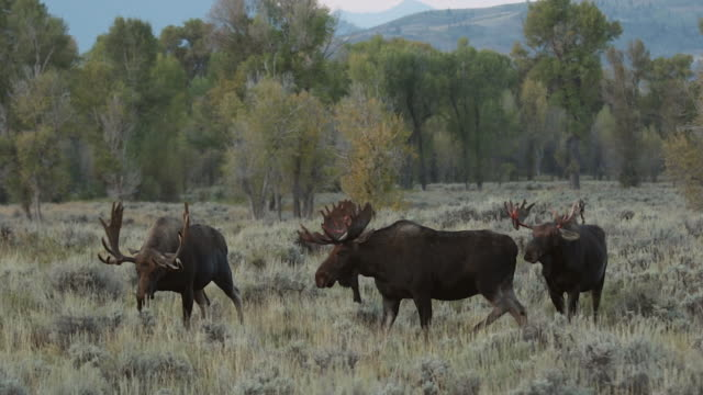 MS  shot of 3 bull moose (Alces alces) in the rut that are loosing the velvet on their antlers with fall colors in the background