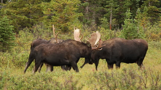 MS  shot of 3 bull moose (Alces alces) sizing each other up as the rut begins