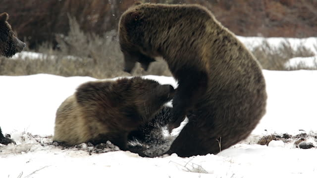 TS shot of 3 grizzly bears (Ursus arctos) fighting in the snow