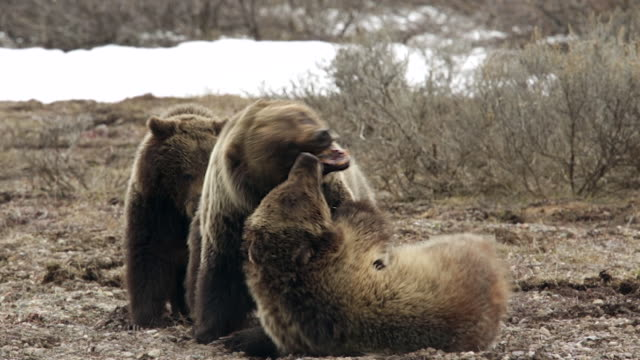 ts shot of 3 grizzly bears (ursus arctos) fighting in the snow - bear stock videos and b-roll footage