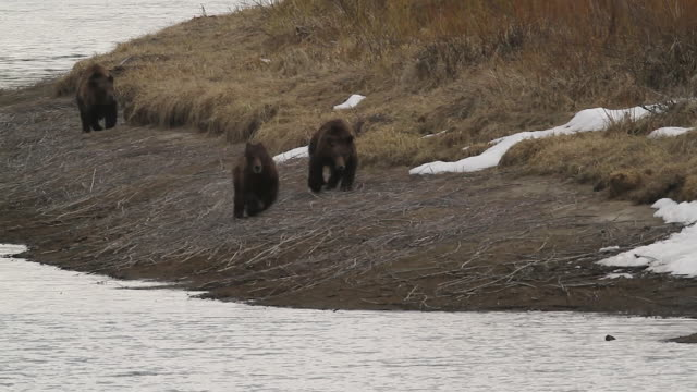ms  shot of 3 grizzly cubs (ursus arctos) running along the banks of the snake river - mt moran stock videos & royalty-free footage