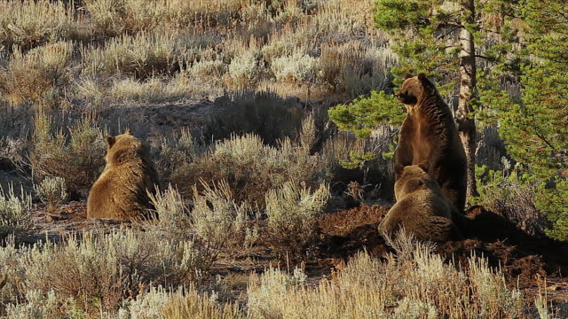 ms  shot of 3 large grizzlies (ursus arctos) feeding on a moose carcass at sunrise in the fall - mt moran stock videos & royalty-free footage